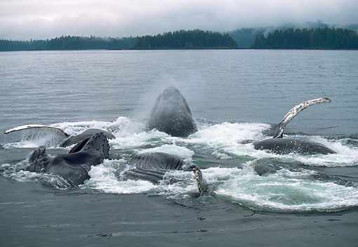 WHA 02 GL0007 01 © Kimball Stock Humpback Whales Bubble Net Feeding