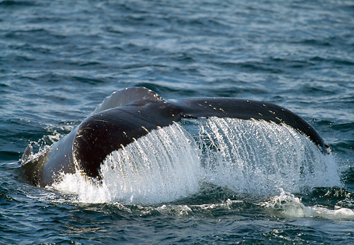 WHA 02 GL0008 01 © Kimball Stock Humpback Whale Fluke At Surface Of Water