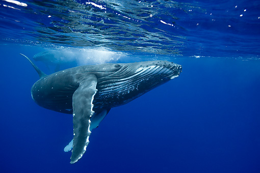 WHA 02 KH0001 01 © Kimball Stock Humpback Whale Swimming In Sea Polynesia