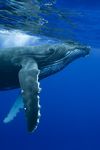 WHA 02 KH0002 01 © Kimball Stock Portrait Of Humpback Whale Swimming In Sea Polynesia