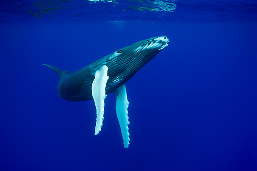 WHA 02 KH0004 01 © Kimball Stock Humpback Whale Calf Swimming In Sea Polynesia