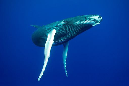 WHA 02 KH0005 01 © Kimball Stock Humpback Whale Calf Swimming In Sea Polynesia