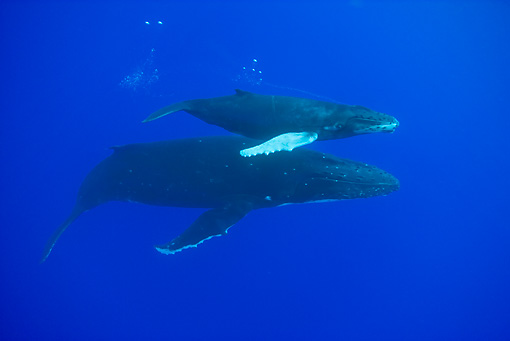 WHA 02 KH0006 01 © Kimball Stock Humpback Whale Calf Swimming Over Mother In Sea Polynesia