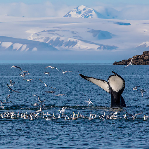 WHA 02 KH0010 01 © Kimball Stock White Humpback Whale Surfacing In Svalbard, Norway