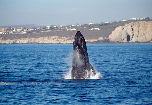 WHA 02 MC0002 01 © Kimball Stock Humpback Whale Breaching Baja California
