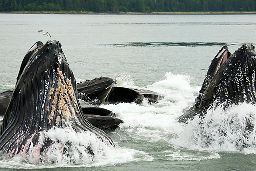 WHA 02 MC0007 01 © Kimball Stock Humpback Whales Bubble Net Feeding Alaska