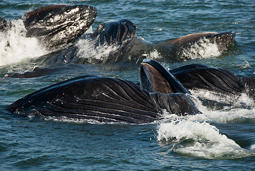 WHA 02 MC0009 01 © Kimball Stock Humpback Whales Bubble Net Feeding Alaska