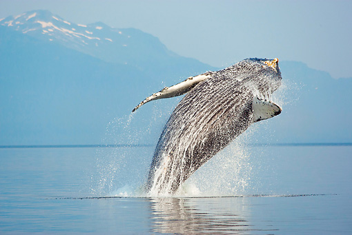 WHA 02 MC0010 01 © Kimball Stock Humpback Whale Breaching With Snowy Mountains In Background Alaska