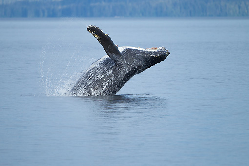 WHA 02 MC0019 01 © Kimball Stock Humpback Whale Breaching In Frederick Sound, Alaska