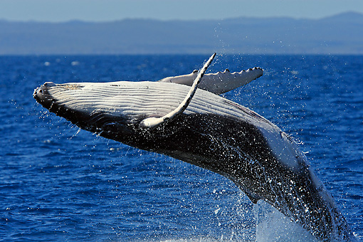 WHA 02 WF0006 01 © Kimball Stock Close-Up Of Humpback Whale Breaching In Ocean