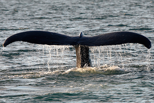 WHA 02 WF0009 01 © Kimball Stock Humpback Whale Tail Above Surface Of Water