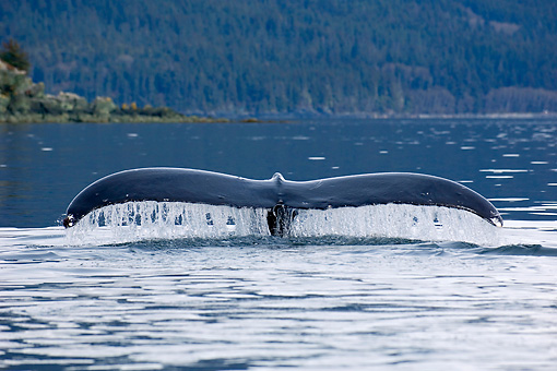 WHA 02 JM0002 01 © Kimball Stock Humpback Whale Tail Surfacing