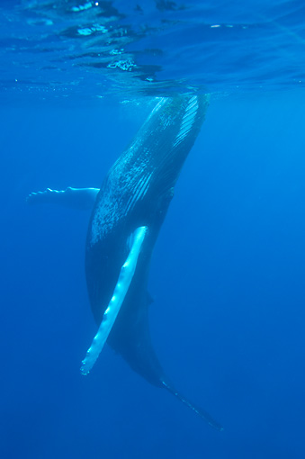 WHA 02 NE0007 01 © Kimball Stock Humpback Whale Swimming Toward Surface Of Caribbean Ocean