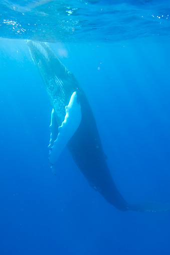 WHA 02 NE0008 01 © Kimball Stock Humpback Whale Swimming Toward Surface Of Caribbean Ocean