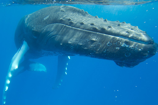 WHA 02 NE0011 01 © Kimball Stock Close-Up Of Humpback Whale Swimming Underwater Caribbean Ocean