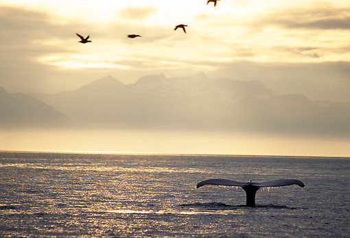 WHA 02 TL0001 01 © Kimball Stock Tail Shot Of Humpback Whale Sunset