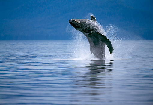 WHA 02 TL0002 01 © Kimball Stock Humpback Whale Leaping In Air