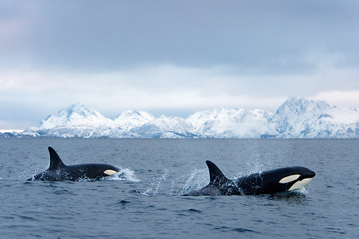 WHA 03 KH0002 01 © Kimball Stock Two Orcas Swimming At Ocean Surface Norway
