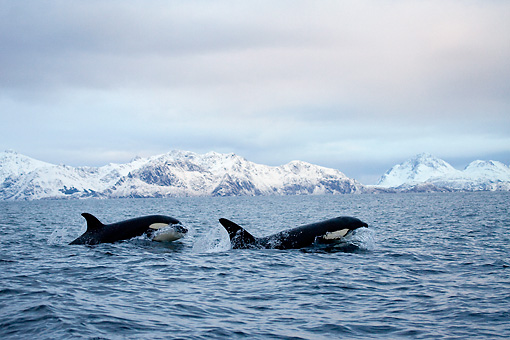 WHA 03 KH0003 01 © Kimball Stock Two Orcas Swimming At Ocean Surface Norway