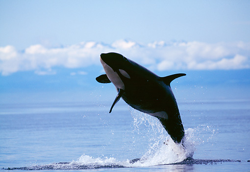 WHA 03 RD0016 01 © Kimball Stock Killer Whale Breaching Cloud Bank Background