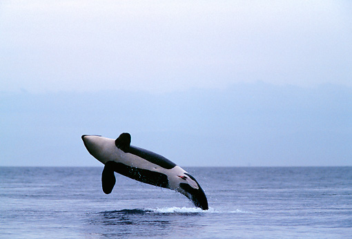 WHA 03 RD0017 01 © Kimball Stock Killer Whale Breaching Cloud Bank Background