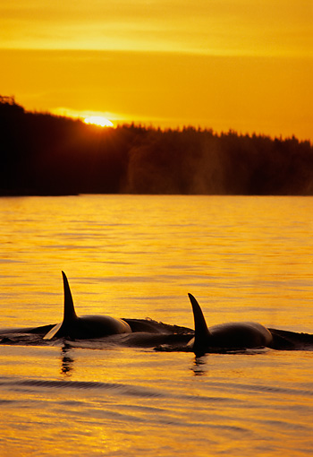 WHA 03 TL0001 01 © Kimball Stock Two Orca Whales Tail Shot At Sunset
