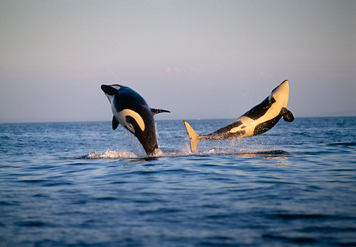 WHA 03 TL0004 01 © Kimball Stock Two Orca Whales Leaping In Air At Sunset