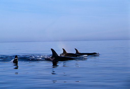 WHA 03 TL0005 01 © Kimball Stock Group Of Killer Whales Swimming