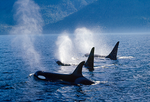 WHA 03 TL0007 01 © Kimball Stock Three Killer Whales Surfacing For Air Simultaneously