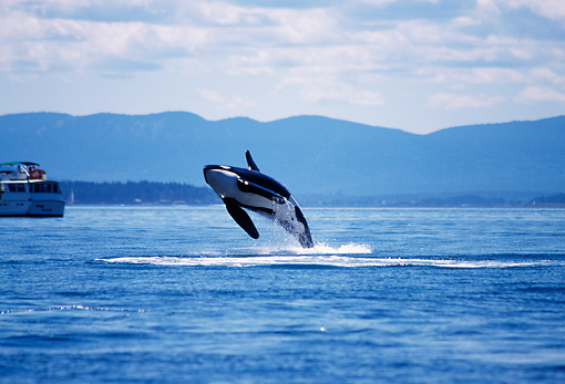 WHA 03 TL0009 01 © Kimball Stock Killer Whale Breaching With Background Of Mountains Boat Sky
