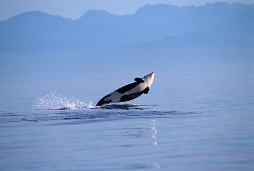 WHA 03 TL0010 01 © Kimball Stock Killer Whale Breaching With Hazy Mountain Background