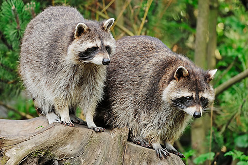 WLD 01 AC0003 01 © Kimball Stock Raccoons Standing On Stump