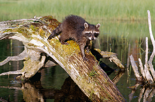 WLD 01 BA0001 01 © Kimball Stock Raccoon Walking On Log Over Lake