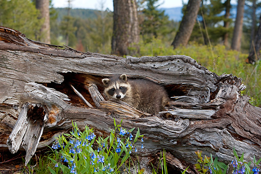 WLD 01 KH0001 01 © Kimball Stock Juvenile Raccoon Inside Hollow Log
