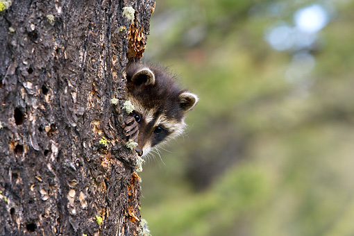 WLD 01 KH0004 01 © Kimball Stock Juvenile Raccoon Peeking Out Of Tree Trunk