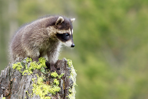 WLD 01 KH0006 01 © Kimball Stock Juvenile Raccoon Standing On Tree Stump
