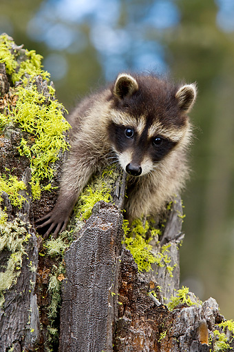 WLD 01 KH0007 01 © Kimball Stock Juvenile Raccoon Climbing On Tree Stump