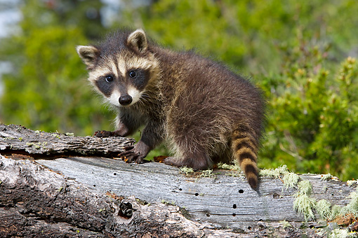 WLD 01 KH0008 01 © Kimball Stock Juvenile Raccoon Standing On Log