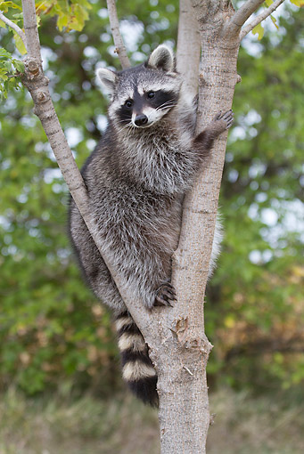 WLD 01 LS0002 01 © Kimball Stock Portrait Of Raccoon Sitting In Tree