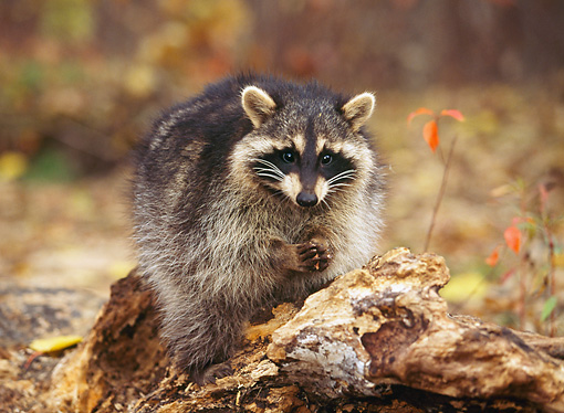 WLD 01 RK0023 17 © Kimball Stock Raccoon Sitting On Log