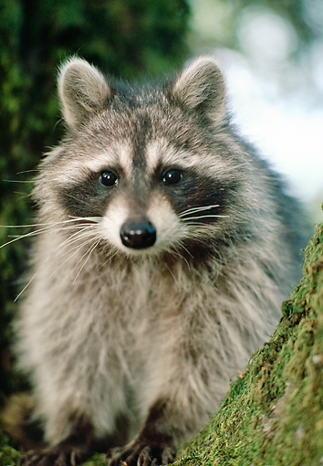 WLD 01 RK0037 06 © Kimball Stock Raccoon.