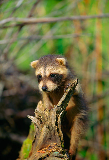 WLD 01 DB0001 01 © Kimball Stock Raccoon Cub On Tree Stump Montana