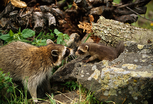 WLD 01 DB0002 01 © Kimball Stock Raccoon Adult With Kit In Forest