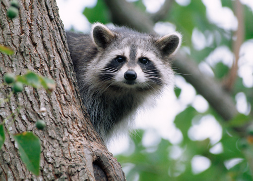 WLD 01 GR0003 01 © Kimball Stock Juvenile Raccoon Peeking Around Tree Trunk