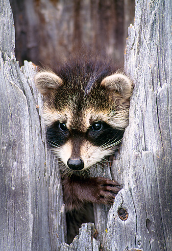 WLD 01 NE0001 01 © Kimball Stock Raccoon Kit Peeking From Hollow Tree Stump