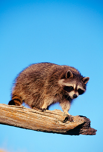 WLD 01 RF0001 01 © Kimball Stock Raccoon Kit Climbing On Tree Branch Blue Sky