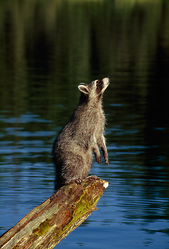 WLD 01 TK0002 01 © Kimball Stock Raccoon Standing On Log Over Lake