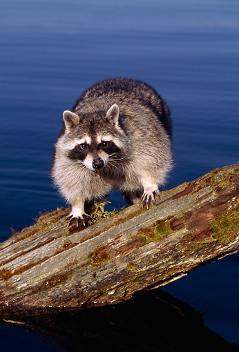 WLD 01 TK0003 01 © Kimball Stock Raccoon Standing On Log Over Lake
