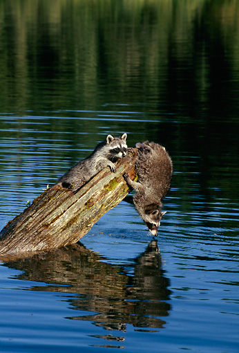 WLD 01 TK0004 01 © Kimball Stock Two Raccoons Playing On Log Over Lake