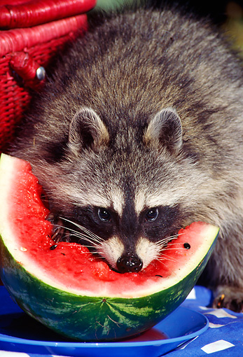 WLD 01 TK0005 01 © Kimball Stock Raccoon Eating Watermelon